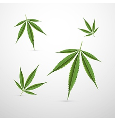 Medical cannabis leaves isolated on white vector