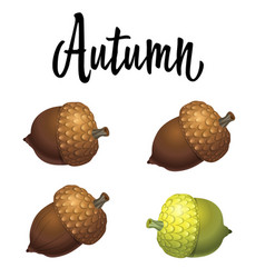 Four acorns isolated on white background vector