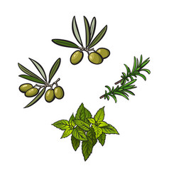 Olives mint and rosemary herbs spices vector