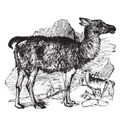 Llama vintage vector
