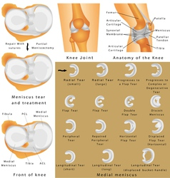Anatomy of the knee vector