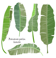 Set of silhouette tropical banana palm leaves vector