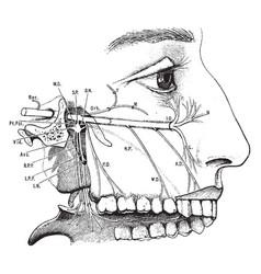 Superior maxillary nerve vintage vector