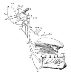 Inferior maxillary nerve vintage vector