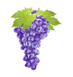 Watercolor grape with leafs on white vector