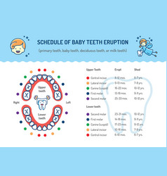 Schedule of baby teeth eruption primary teeth vector
