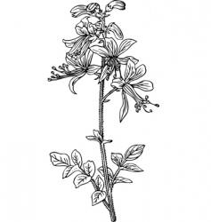 dictamnus vector image