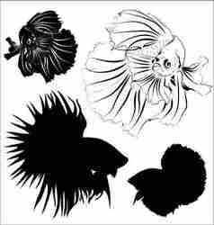 Siamese fighting fish vector