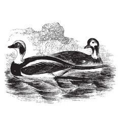 Long tailed duck vintage vector