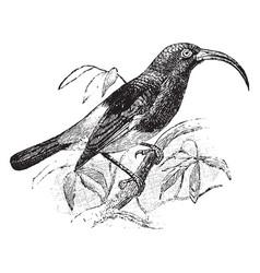 Sickle billed sunbird vintage vector