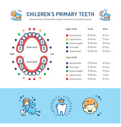 Childrens primary teeth schedule of baby teeth vector
