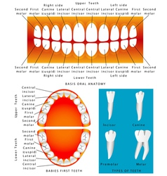 Anatomy of children teeth vector image
