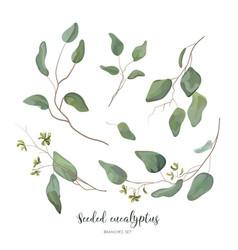 Eucalyptus seeded silver green designer elements vector