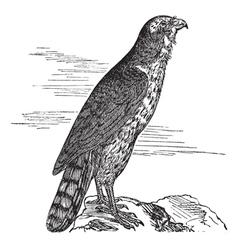 Northern Goshawk vintage engraving vector image