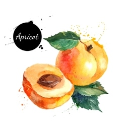 Hand drawn watercolor painting apricot on white vector