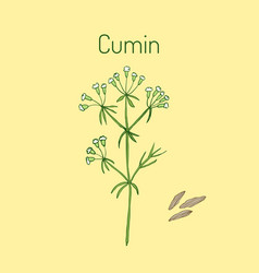 aromatic plant cumin vector image vector image