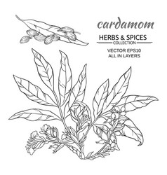cardamom set vector image