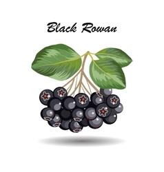 Branch of rowan leaves and berries vector image