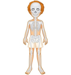 Skeletal system of human boy vector image vector image