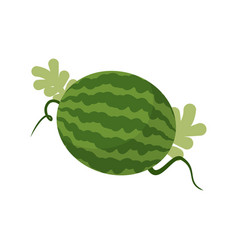 Watermelon growing isolated fruit with leaves vector