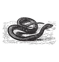 European viper vintage engraving vector