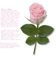 Pink rose hand drawn isolated on white vector
