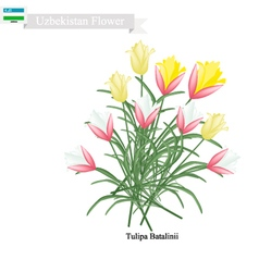 Tulipa Batalinii The Popular Flower of Uzbekistan vector image