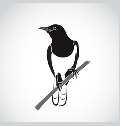 bird on white background oriental magpie robin vector image