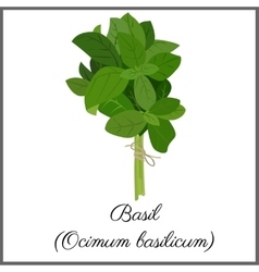 Basil isolated on white top view vector