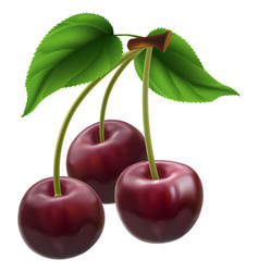 bunch of three cherries vector image vector image