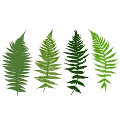 Ferns vector