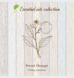 Sweet orange essential oil label aromatic plant vector