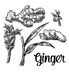 Ginger Root root cutting leaves flower buds vector image vector image