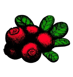 Sketch of lingonberry vector