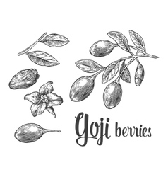 Goji berries on a branch black and white vector