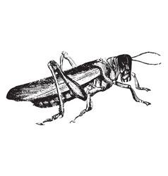 Locust vintage vector