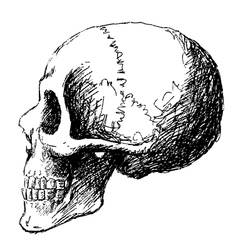 Side view of skull vector
