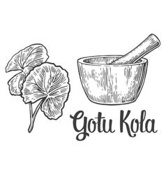 Gotu kola - medicinal plant vintage vector