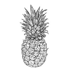 hand drawn fresh pineapple vector image vector image