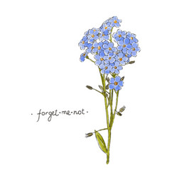 wild flower forget-me-not hand drawn in color vector image