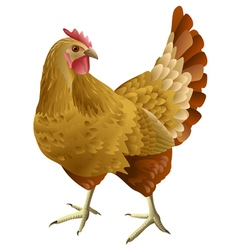 Brown hen isolated vector