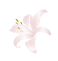 white flower lily lilium candidum vector image