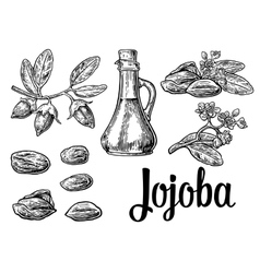 Jojoba fruit with glass jar hand drawn vector