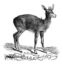 Klipspringer vintage engraving vector image