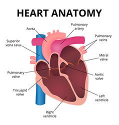 anatomy of the human heart vector image