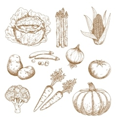 Hand drawn sketches of vegetables vector