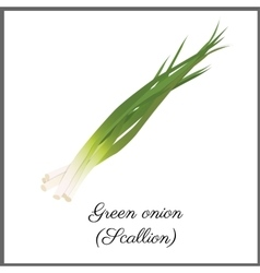 Green onion isolated on white top view vector