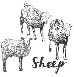 Sheep set hand drawn realistic vector