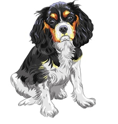 Dog cavalier king charles spaniel breed vector