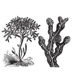 Irish moss engraving vector